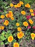 Pavots oranges et jaunes lumineux images stock
