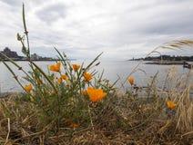 Pavots oranges par l'océan Images libres de droits
