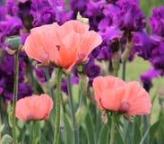 Pavots parmi l'iris Photo stock