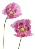 Pavots pourprés roses Image libre de droits