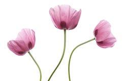 Pavots pourprés roses Image stock