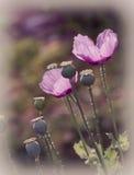 Pavots roses Images libres de droits
