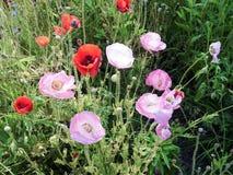 Pavots roses et rouges Photographie stock libre de droits