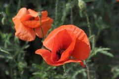 Pavots rouges dans l'herbe Photos stock