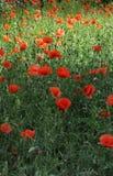 Pavots rouges dans l'herbe Photo stock