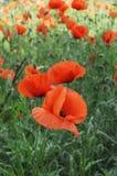 Pavots rouges dans l'herbe Photographie stock