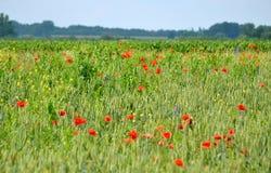 Pavots rouges dans l'herbe verte Image stock
