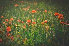 Pavots rouges dans l'herbe verte Photographie stock libre de droits