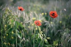 Pavots rouges dans le domaine avec l'herbe verte Photographie stock