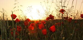 Pavots rouges dans les domaines de blé Images stock