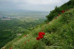 Pavots rouges dans les montagnes Images libres de droits
