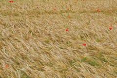 Pavots rouges en revanche dans le domaine des transitoires jaunes de blé Image stock
