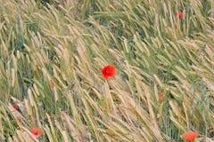 Pavots rouges en revanche dans le domaine des transitoires jaunes de blé Photos stock