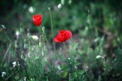 Pavots rouges lumineux sauvages Images libres de droits