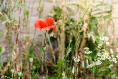 Pavots rouges merveilleux dans l'herbe verte Image libre de droits