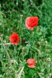 Pavots rouges merveilleux dans l'herbe verte Image stock