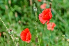 Pavots rouges merveilleux dans l'herbe verte Images stock