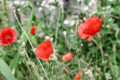 Pavots rouges merveilleux dans l'herbe verte Photographie stock libre de droits