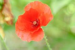 Pavots rouges merveilleux dans l'herbe verte Photos libres de droits