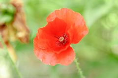 Pavots rouges merveilleux dans l'herbe verte Photographie stock