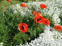 Pavots rouges parmi les fleurs blanches Image stock