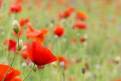 pavots rouges pendant le jour ensoleillé de champ Photographie stock libre de droits
