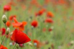 pavots rouges pendant le jour ensoleillé de champ Photo libre de droits