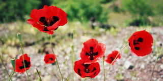 Pavots rouges - rétro filtre Province d'Antalya, Turquie Image stock