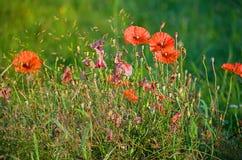 Pavots rouges romantiques Photographie stock