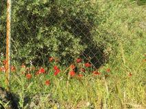 Pavots rouges sur le bord de bord de la route Image libre de droits