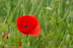 Pavots rouges Sur un fond d'herbe verte Image stock
