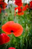 Pavots rouges Sur un fond d'herbe verte Photographie stock