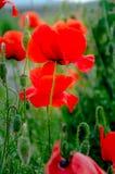 Pavots rouges Sur un fond d'herbe verte Photographie stock libre de droits