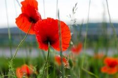 Pavots rouges Sur un fond d'herbe verte Photos libres de droits