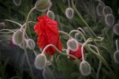 Pavots rouges sur un pré d'été un jour ensoleillé Photographie stock libre de droits