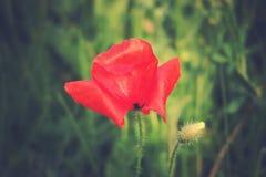 Pavots rouges sur un pré d'été un jour ensoleillé Photo stock