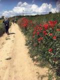 Pavots sauvages le long de l'itinéraire de Camino De Santiago images libres de droits