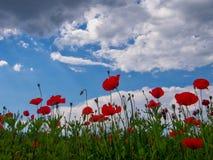 Pavots sauvages rouges contre le ciel de ressort Photos libres de droits
