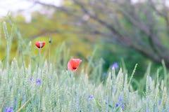 Pavots sauvages sur un champ de blé photos libres de droits
