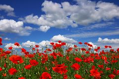 Pavots sur un fond du ciel bleu photographie stock libre de droits