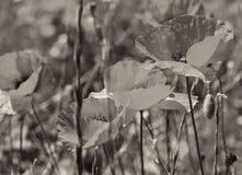 Pavots sur une zone verte Dans la sépia modifiée la tonalité Rétro type Photographie stock