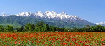 Pavots Tien Shan d'écarlate photo stock