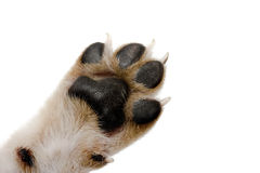Paw. Close-up picture of dog paw - great footprints Royalty Free Stock Photography
