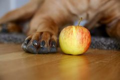 Paw and apple Royalty Free Stock Photos