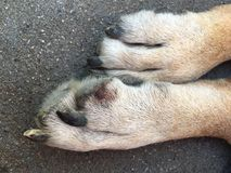 Paw of a big dog with a small wound Royalty Free Stock Image