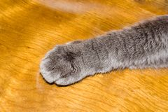 Paw of the cat Stock Image