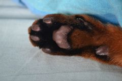 Paw. Cat, Abyssinian, paw Stock Image