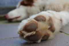 Paw closeup of Australian Shepherd dog Royalty Free Stock Image