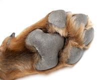Paw of a dog of breed a Rottweiler Royalty Free Stock Photos