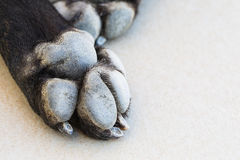 The paw of a dog Stock Photography